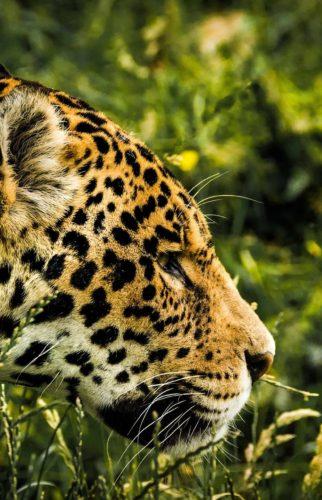 Safari Jaguars
